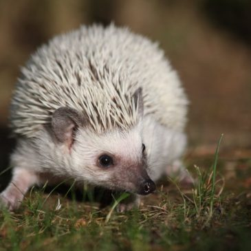 Of hedgehogs, etymology and linguists being wrong